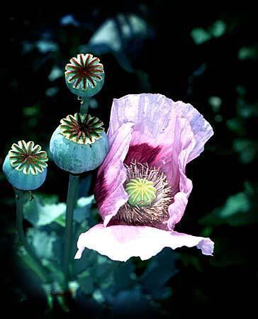 planta-de-opio-la-adormidera